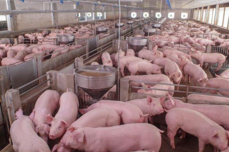 Nuevo proyecto de ordenanza contra mega-granjas porcinas