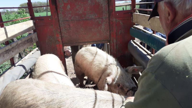 El SENASA controló un foco de triquinosis en Chacabuco