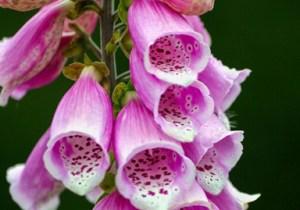 Foxglove Washington State Wildflower Photo Print