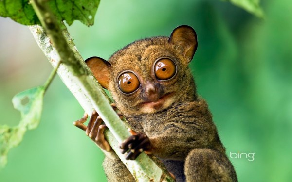 Western tarsier in a Malaysian rainforest in Danum Valley