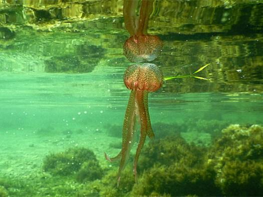 20150625 Cabrera - Jelly fish
