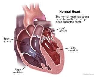 the normal heart heart