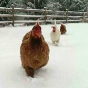 Raising Chickens in Winter