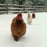Raising Chickens in Winter