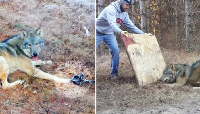 Man Risks His Life to Rescue Timber Wolf Stuck in Hunting Trap