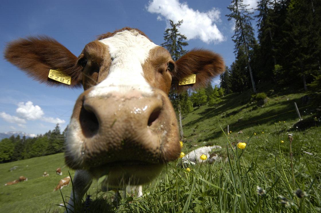 Kuh Patenschaft Kuh leasen als Paar oder Fam  geschenkparadiesch