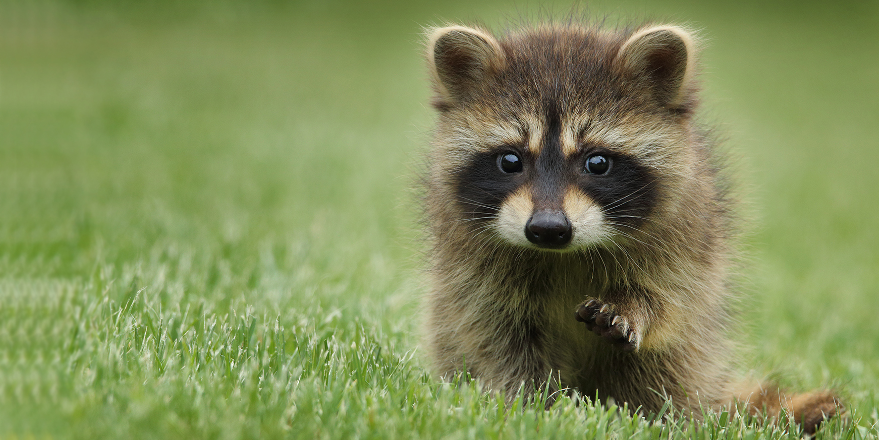 Baby raccoon walking on grass