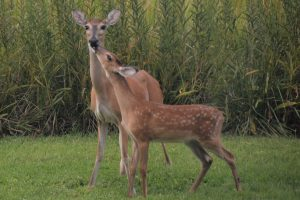 Baby deer nuzzing Doe
