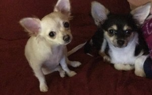 Brother and Sister Teacup Chihuahuas