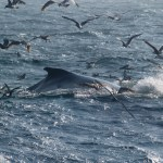 Fin whale with seagulls