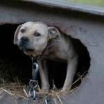 Dogfighting dog rescued