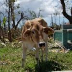 Cow after a hurricane