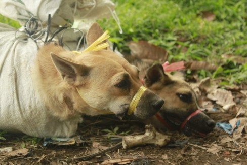 Dogs in Indonesia