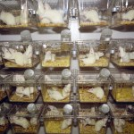 White rats in cages