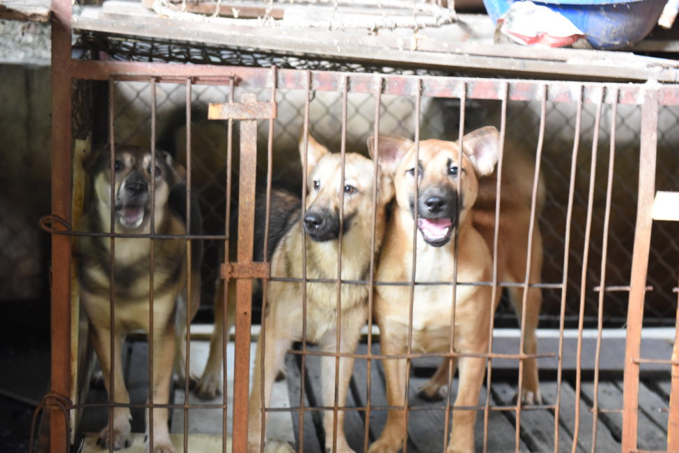 VIDEO: Campaigners unite to urge governments across Asia to shut down dog &  cat meat trades as 'perfect breeding ground' for next public health  disaster - Humane Society International