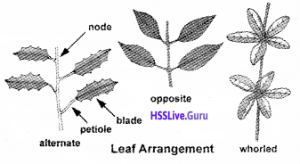 Plus One Botany Chapter Wise Questions and Answers Chapter 3 Morphology of Flowering Plants img23