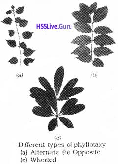 Plus One Botany Notes Chapter 3 Morphology of Flowering Plants 10