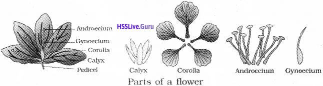 Plus One Botany Notes Chapter 3 Morphology of Flowering Plants 14
