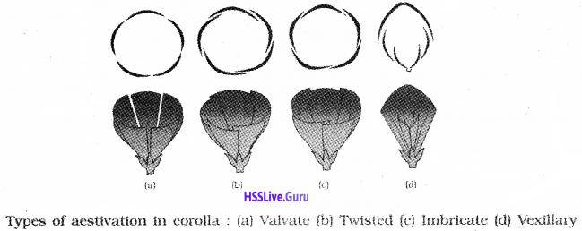 Plus One Botany Notes Chapter 3 Morphology of Flowering Plants 15