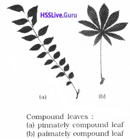 Plus One Botany Notes Chapter 3 Morphology of Flowering Plants 9