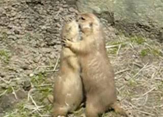 roedores pradera