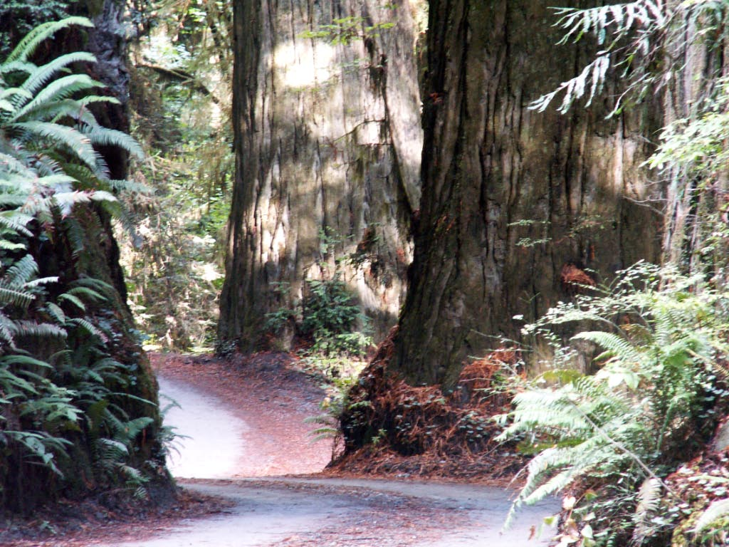 picture of road through the redwoods