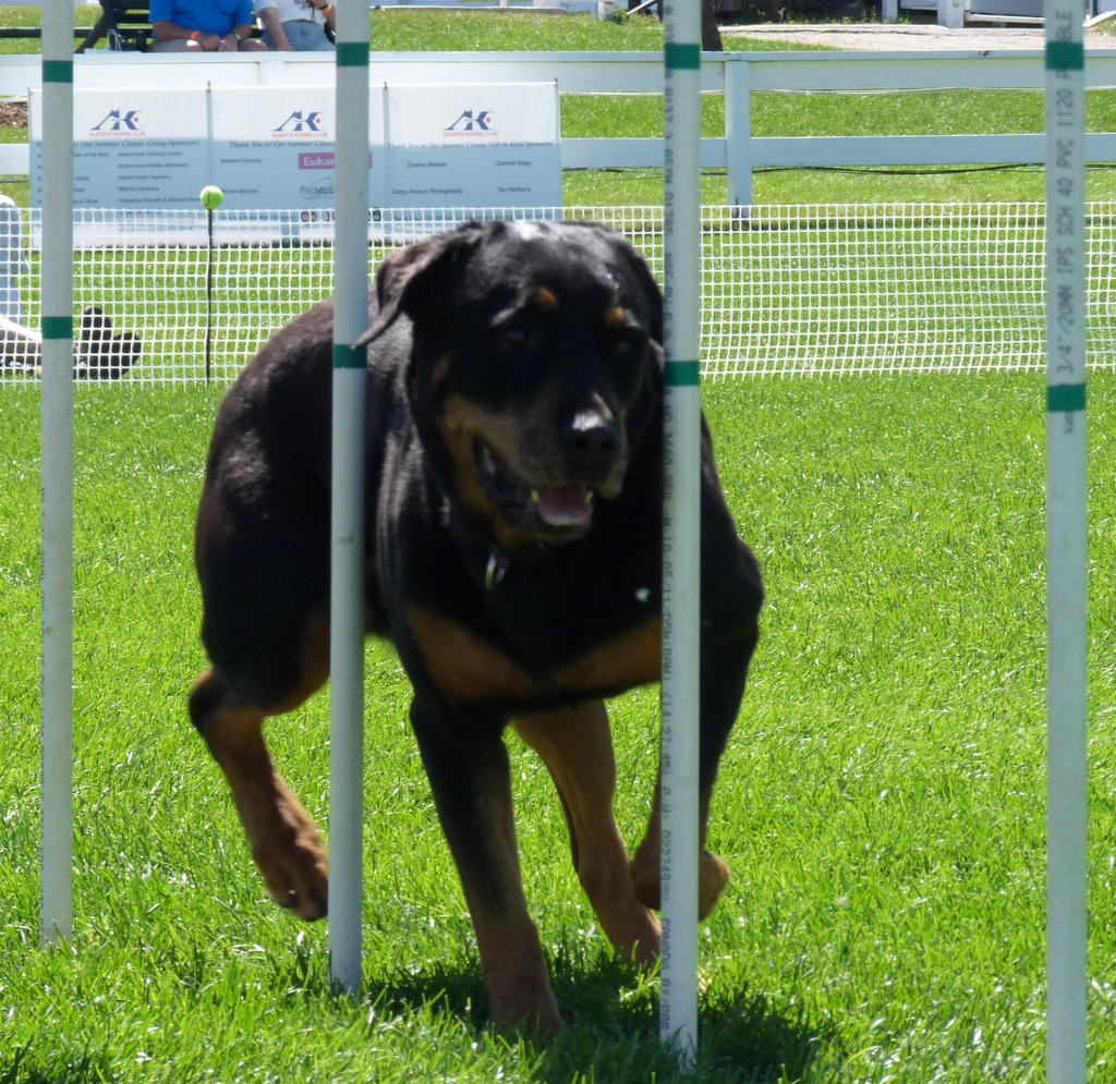 picture of dog on agility course