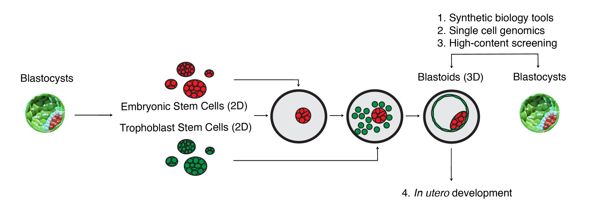 hight resolution of contrary to the blastocysts blastoids are versatile to systematically modulate and analyse the impact of cell numbers cell states and multicellular
