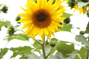 Nature's Graves by Beth Beth Moore Sunflower