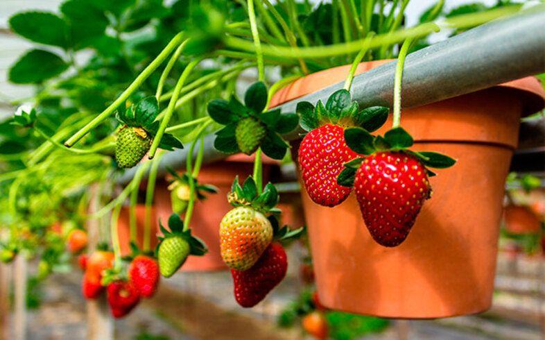 fresas en tu huerto ecologico