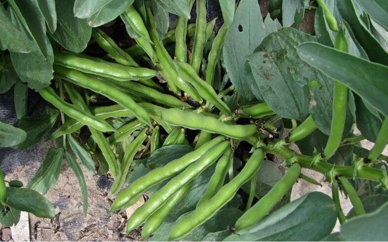 cultivo de habas en huerto