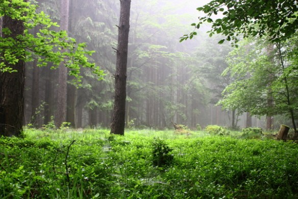 Lichtung im Wald im Nebel