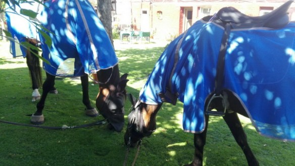 Pferde mit Fliegenschutz in unserem Garten
