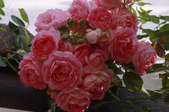 Nachblüte der Ramblerrose 2100