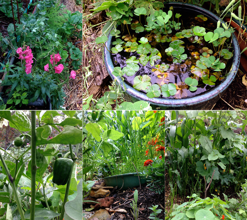 companion planting, pond, capsicum, water chestnut, corn sunflower