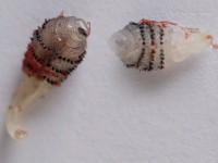 Human botfly, dermatobia hominis larven (klik op foto voor vergroting) [bron: www.huidziekten.nl]