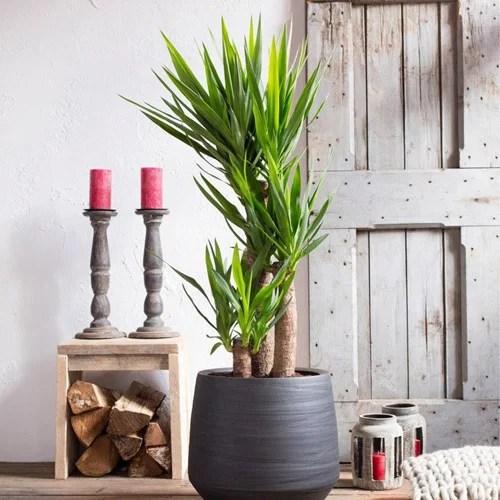 Leuke planten voor in huis  Halve parasol