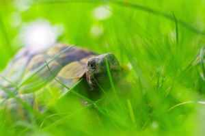 schildpadje in een grasveld