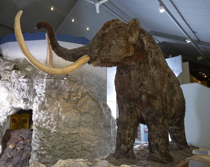 Full-size model of a woolly mammoth at Hull and East Riding Museum.