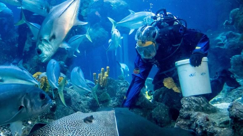 A diver feeds stingrays at The Deep.
