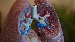 A model of a set of human lungs