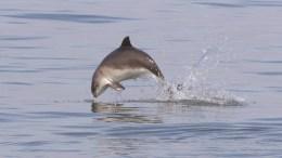 A harbour porpoise. Picture Chrys Mellor