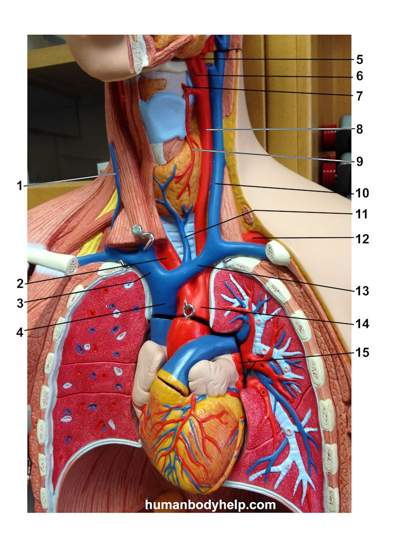 spinal cord and nerves diagram single phase 220 wiring upper torso 1 blood vessels – human body help