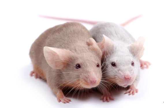 Dr Albert Schweitzer Testing on Animals is Misguided
