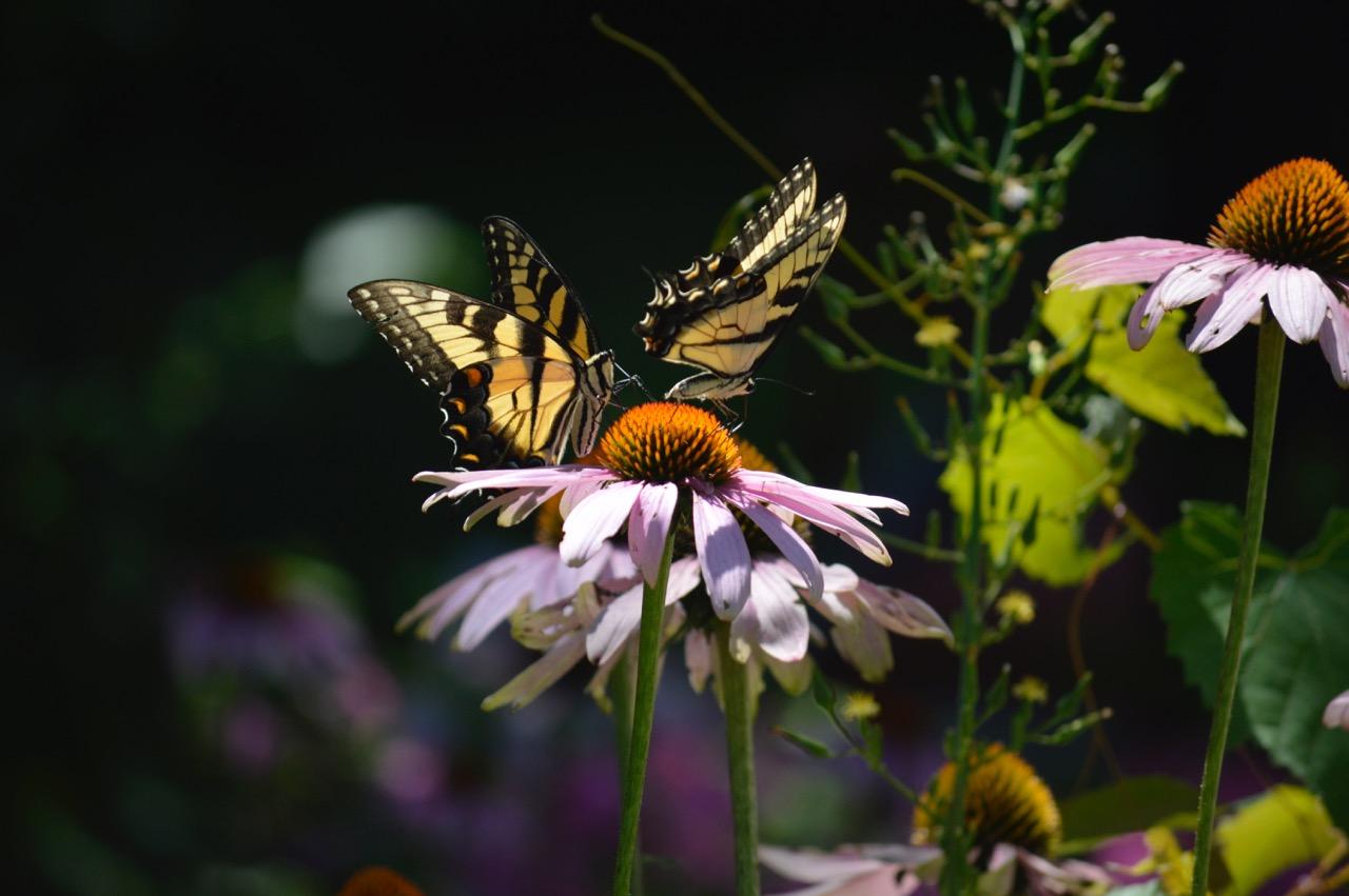 Flower Power Cultivars Vs Straight Species Humane Gardener