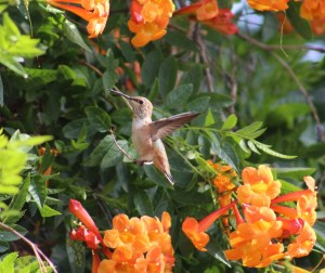 Image of hummingbird on trumpet creeper