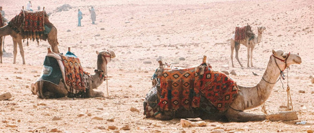 Camels dressed in riding attire laying and standing in a vast desert.