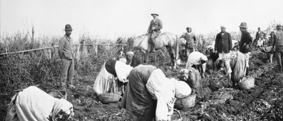 Ramassage de pommes de terre en Algérie, sous la férule d'un colon à cheval. Roger-Viollet