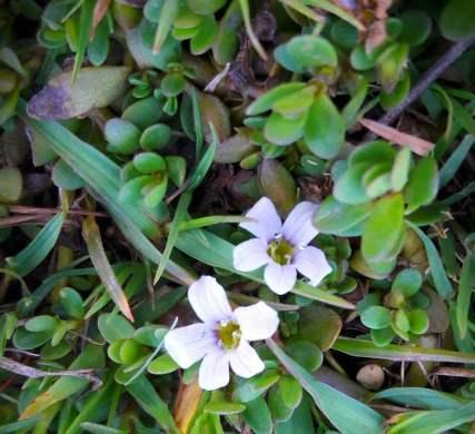 10 Famous Ayurvedic Herb of Uttarakhand Waterhyssop