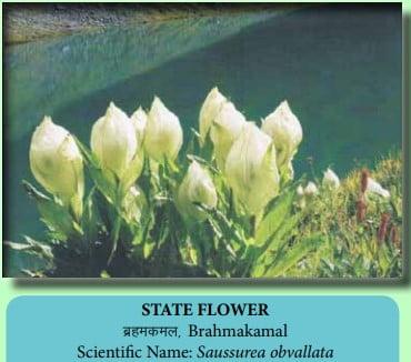 State Flower Of Uttarakhand Brahma Kamal